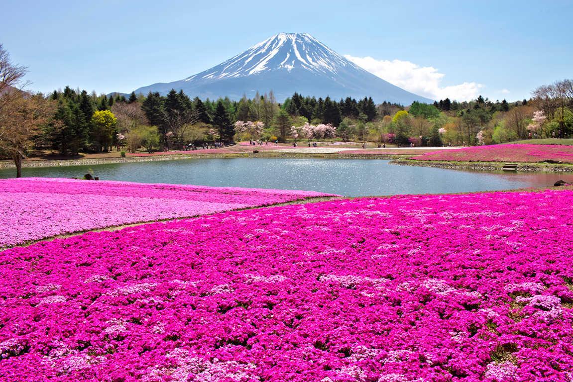 tour-nhat-ban-Shibazakura